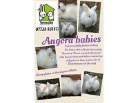 Angora rabbits - adults and babies