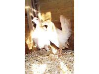 2 serama pullets available as a pair