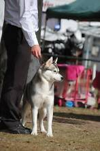 3 year old Siberian Husky for sale to good home Cairns Cairns City Preview