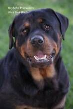 Registered Rottweiler Puppies Inverell Inverell Area Preview