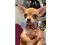 3 Stunning Tiny Chihuahua Puppies For Sale