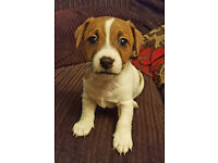Jack Russell Puppy puppies Ready for good homes 4th February 2017 from Kennel Club CD Registered Mum