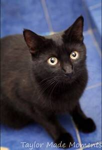 AC0563 : Cortana - CAT for ADOPTION - Vet Work Included Ellenbrook Swan Area Preview