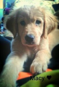 WANTED :- Female Golden Retriever Puppy