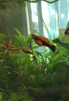 Swordtails orange & black juvineles & some adults