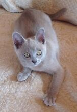 Beautiful Pure Bred Burmese kittens Hawkesbury Heights Blue Mountains Preview