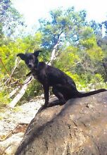 Male kelpie pup- boo Rothwell Redcliffe Area Preview