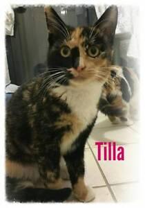 Tilla~Rescue Kitten~Vet Work Included