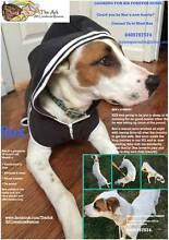 "Rescue Dog Mastiff x Pointer ""Artemis Rex"" looking for hom Mornington Mornington Peninsula Preview"
