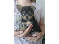Beautiful Yorkie X Chihuahua (Chorkie) Pup.
