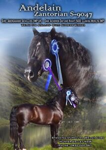 AT STUD- Welsh Cob Stallion- AT STUD Maitland Maitland Area Preview