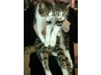 one male and one female tabby and white cat been neutered
