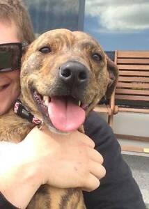 LOST DOG, $2000 REWARD Dwellingup Murray Area Preview