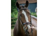 16.2hh Gelding for Loan