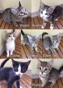 Kittens for Adoption Temora Temora Area Preview