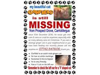 MISSING CAT Garfield- Carrickfergus