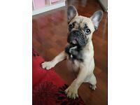 French bulldog puppy girl KC REG