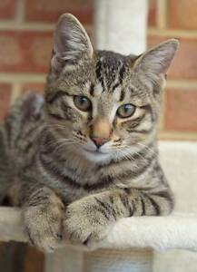 AK1402 : Doyle - CAT FOR ADOPTION - Vet Work Included Ballajura Swan Area Preview