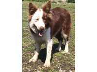 red sable collie dog