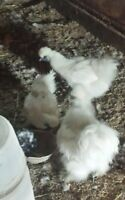 silkies for sale