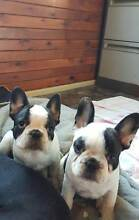 French Bulldog adorable puppies Wamuran Caboolture Area Preview