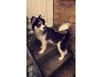 Husky Dog (Bradford)