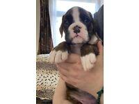 Boxer pup 1 left.