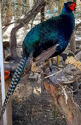 Green Melanistic Pheasant Hatching Eggs Pre Sale Per Egg