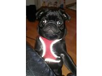 Pug pup - Black male, 6 month old.