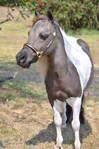 Miniature Horse Stallion Kendenup Plantagenet Area Preview