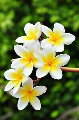 Florida Professionaly Grown Plumeria Cutting 9 To 12 Inches Long