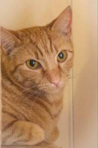AK0970 : Ginny - CAT FOR ADOPTION - Vet Work Included Thornlie Gosnells Area Preview