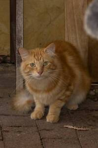 AC0445 : Charmander - CAT for ADOPTION - Vet Work Included Clarkson Wanneroo Area Preview