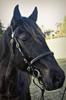 14.3hh Galloway for sale Traralgon Latrobe Valley Preview
