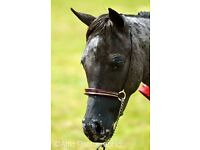 Miniature Horse/Falabella Stallion/colt 3 year old