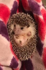 1.5 year old hedgehog
