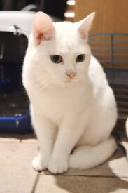 Missing: Two White Cats from Hythe, Southampton