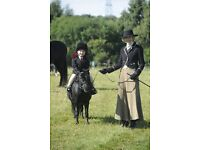 """7 year old Black Falabella Blend Mare 34"""" Winner in hand and used for lead rein classes and Taxi."""