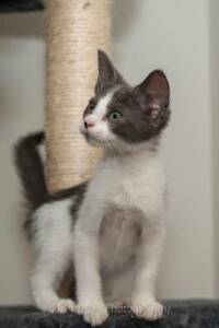 AK2973 : Squirtle - KITTEN for ADOPTION - Vet Work Included