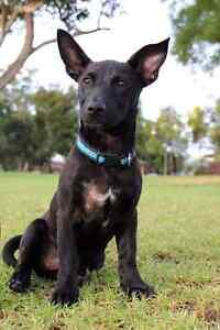 Lost black kelpie please help Girrawheen Wanneroo Area Preview