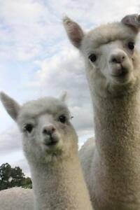 ALPACAS ORIGINAL STOCK FROM PERUVIAN GENETICS (Hunter Valley ) Broke Singleton Area Preview
