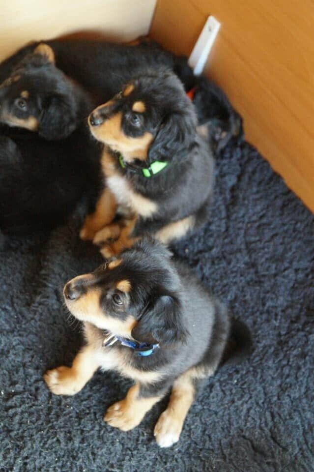 English Shepherd Puppies   in Lairg, Highland   Gumtree