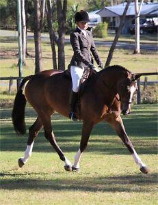 Sensational show hunter and dressage mount. Arab wb gelding. 16.1 Brisbane City Brisbane North West Preview