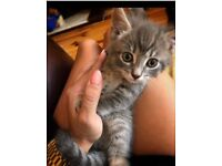 Lovely Tabby Kitten Male