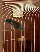 reduced...need a good home fir pair of parrotlets