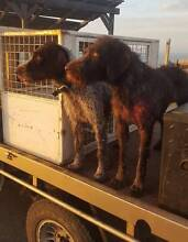 German Wirehaired Pointer Pups Bakers Hill Northam Area Preview