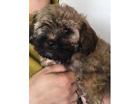 2 x Bichon Terrier Pups For Sale