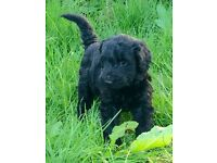 Beautiful Large Black Schnoodle puppies