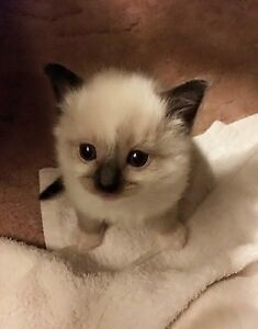 Ragdoll purebred kitten Oakleigh South Monash Area Preview
