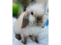 Seal point lion lop doe (female) 1 year old